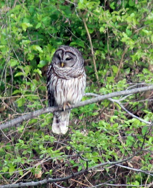 Barred owl in tree 2015