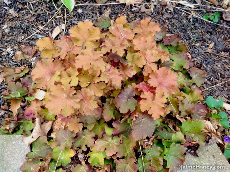 yellowish orangey pink Coral Bells 'Caramel'