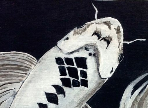 close up of white and black fish of Harlequin Dance