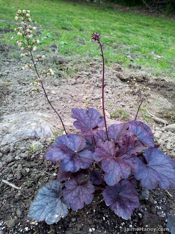 Coral Bells 'Grape Expectations'