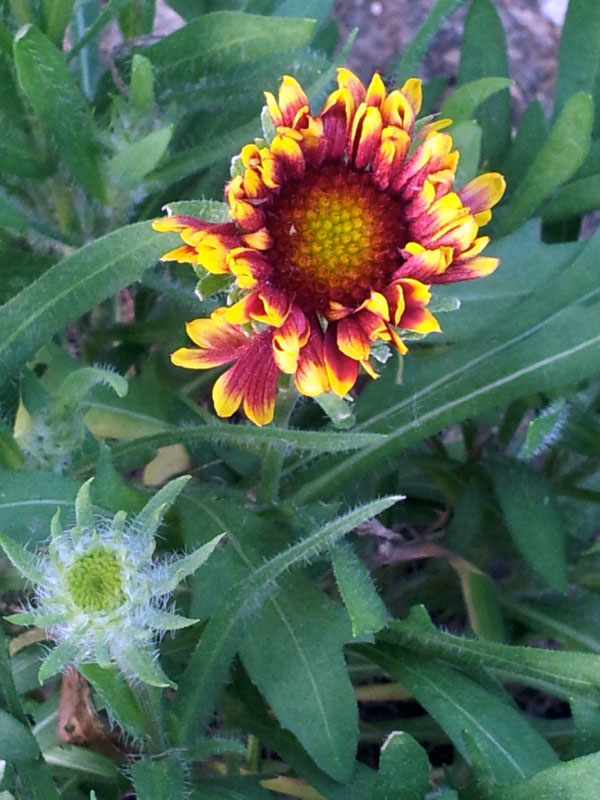 Close up of the red and yellow Gaillardia flower