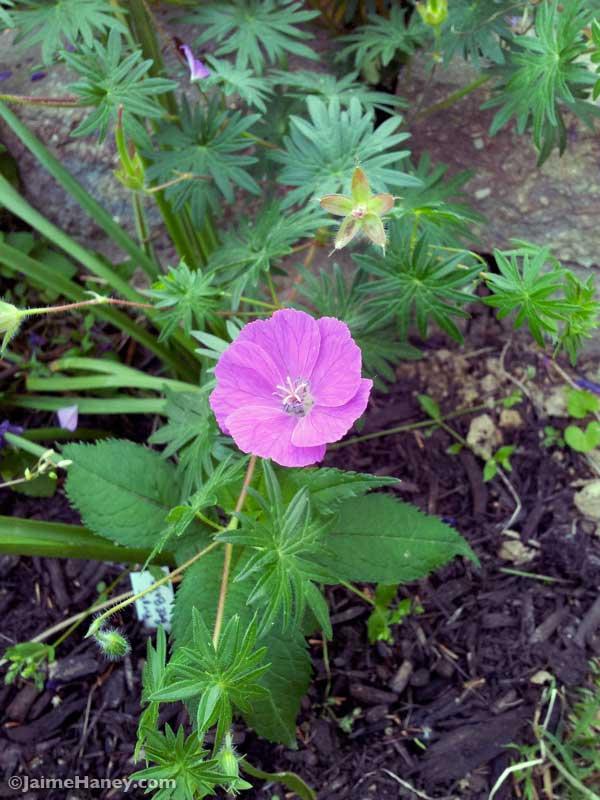 close up of hardy geranium