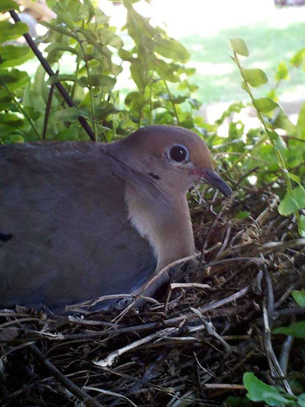 mama dove on her nest