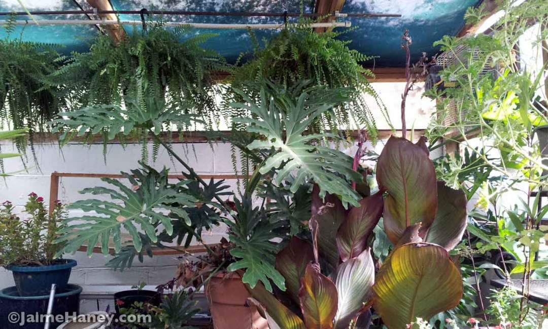 Back row of Boston ferns with philodendron and canna