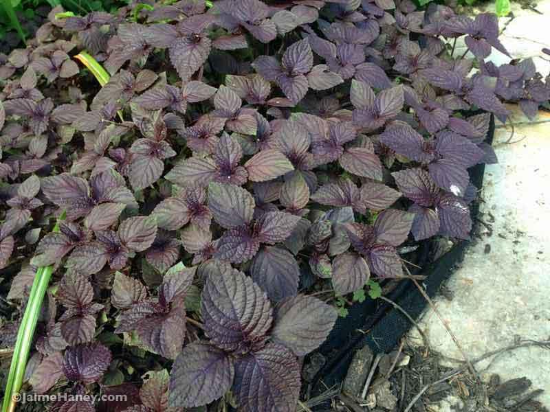 dark foliage perilla