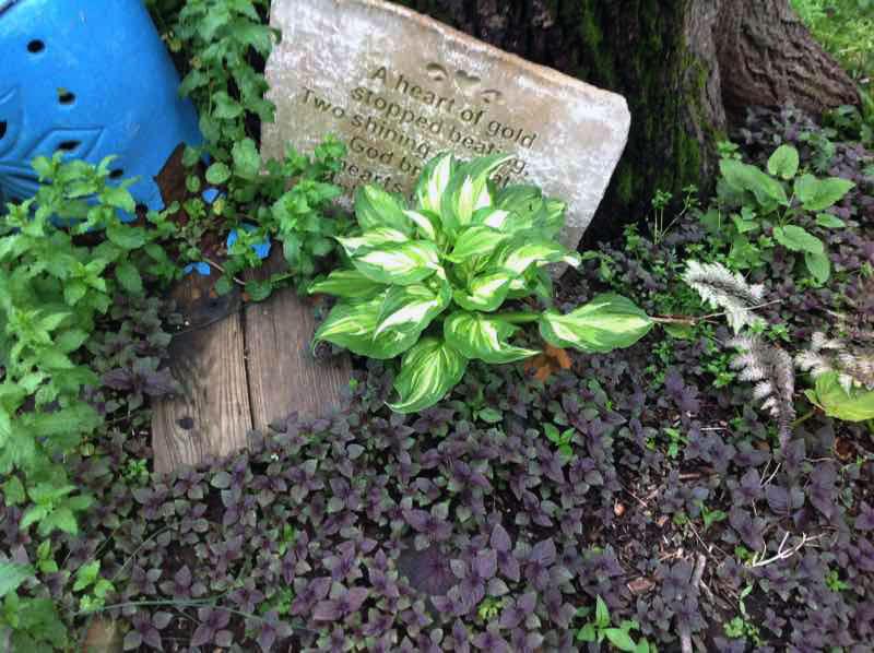 garden vingnette under black walnut tree
