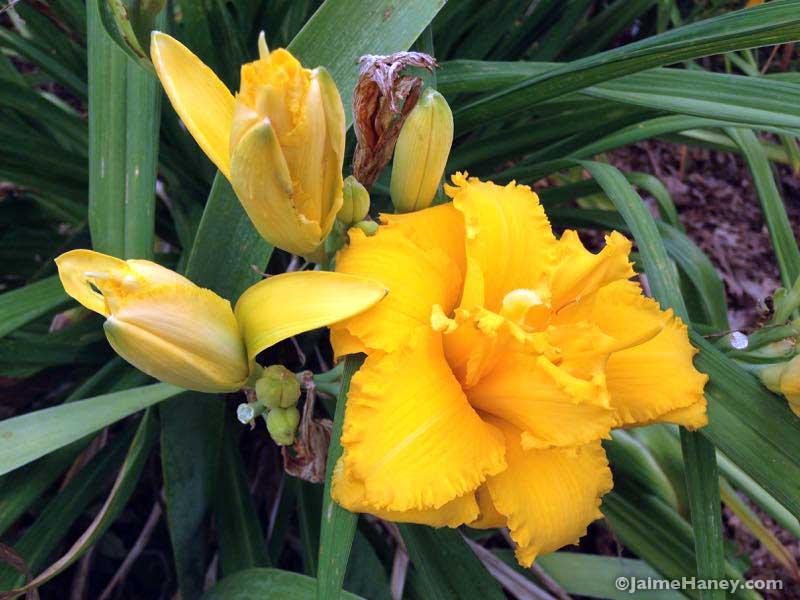 dark golden yellow ruffled daylily blooms