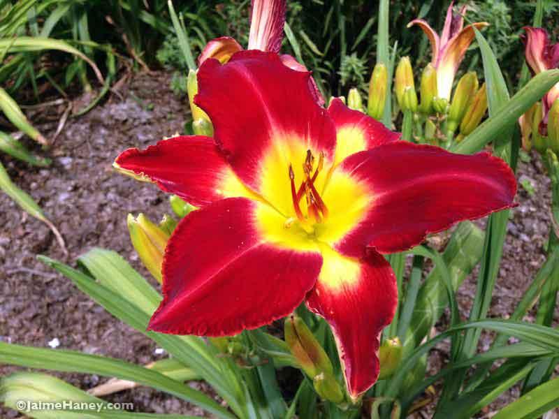 dark red daylily blooms