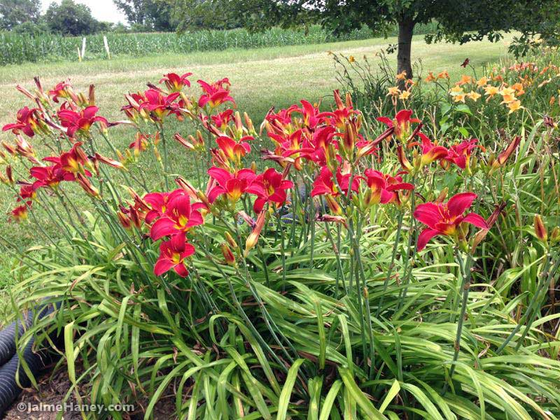 Tall red daylilies