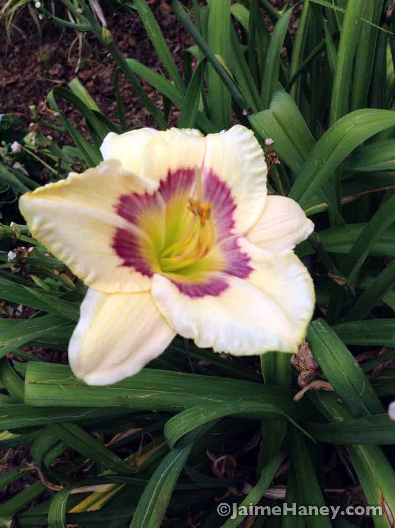 pale yellow with burgundy ring daylily blooms