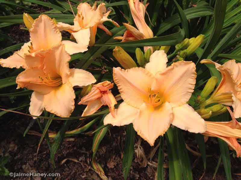 peach daylily blooms