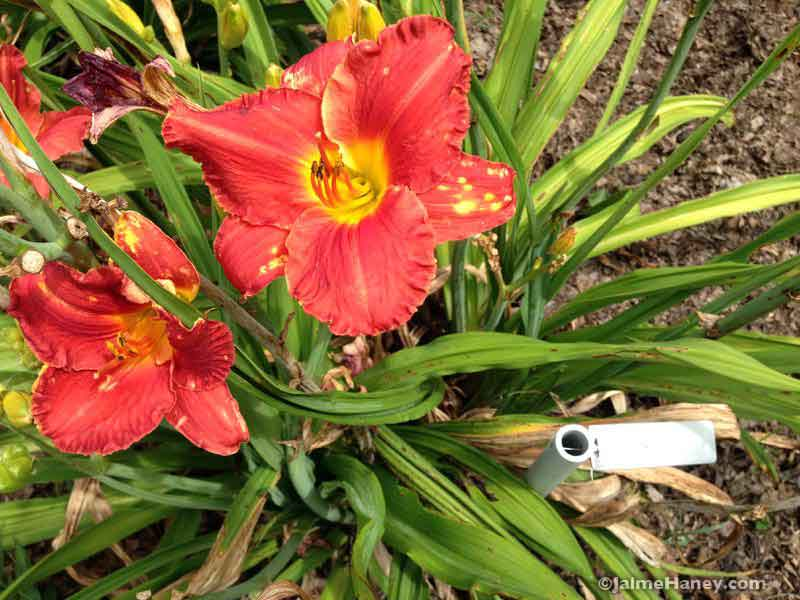 coral red daylily blooms