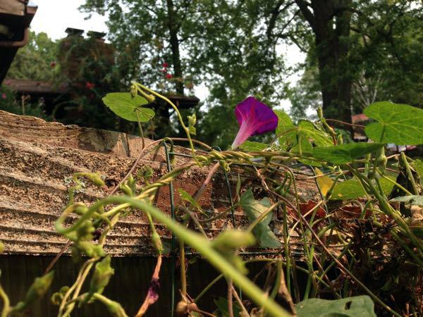 morning glory vine Grandpa Ott growing up my greenhouse