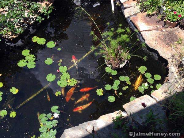 My view of koi fish pond from deck