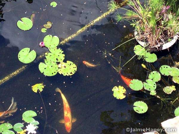 different size koi fish in my pond
