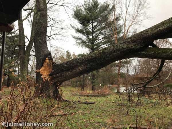 Maple tree down
