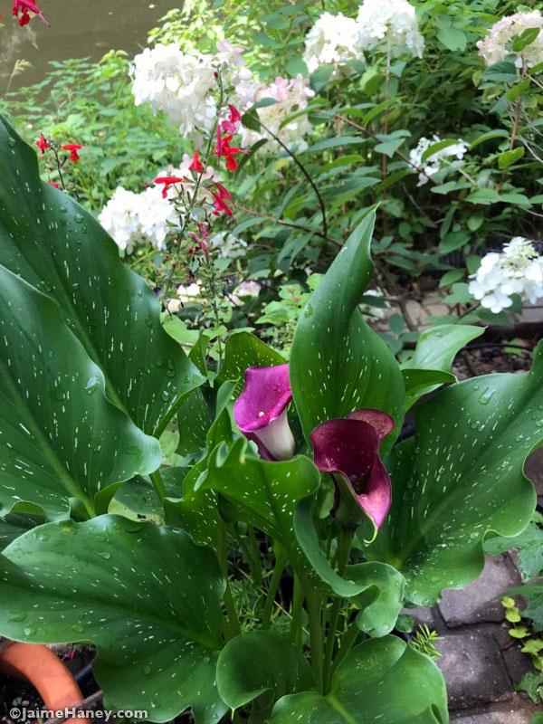 beautiful purple calla lily