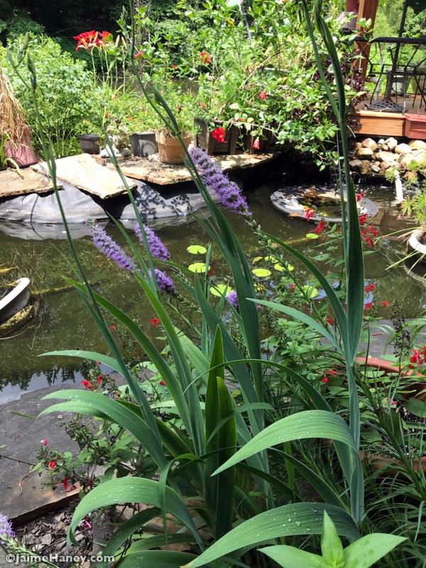 peeking through purple Blazing Star flowers at the koi fish pond.