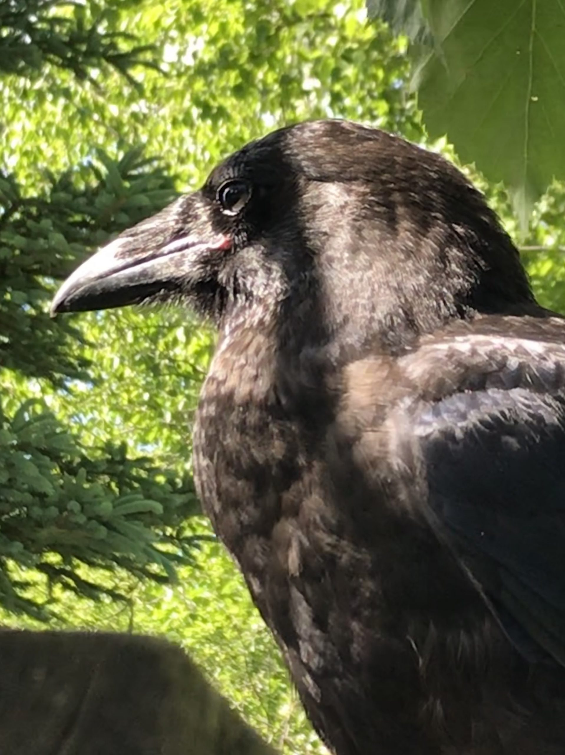 The crow Song