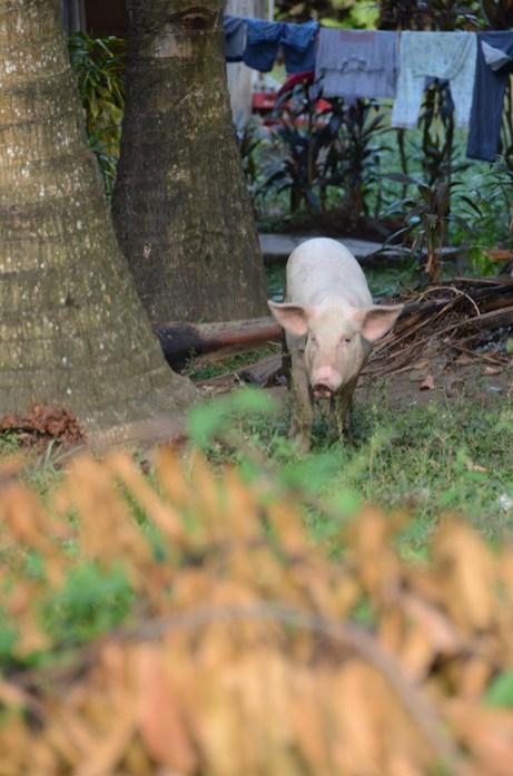L'île de Camiguin - Philippines - Porc au chaud