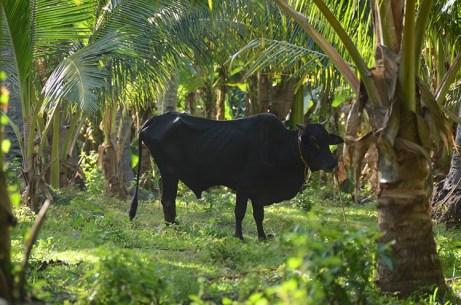 L'île de Camiguin - Philippines - Vachement noire