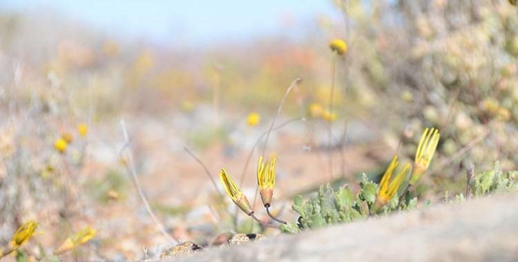 J'aime les fleurs - Namaqualand - Afrique du Sud (17)