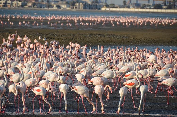 Walvis Bay et les flamands roses - Namibie (6)