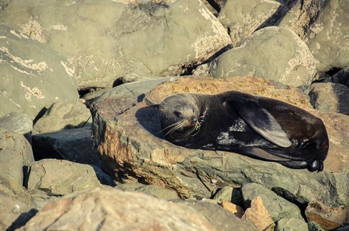 On a vu des otaries à Kaikoura - Nouvelle Zélande - Jaiuneouverture Tour du Monde (4)