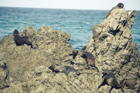 On a vu des otaries à Kaikoura - Nouvelle Zélande - Jaiuneouverture Tour du Monde (5)