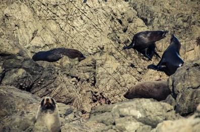 On a vu des otaries à Kaikoura - Nouvelle Zélande - Jaiuneouverture Tour du Monde (6)
