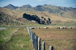 On a vu des otaries à Kaikoura - Nouvelle Zélande - Jaiuneouverture Tour du Monde (9)