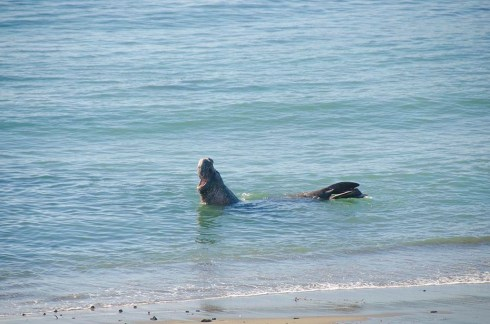 Elephants de mer sur la route du Big Sur (2)