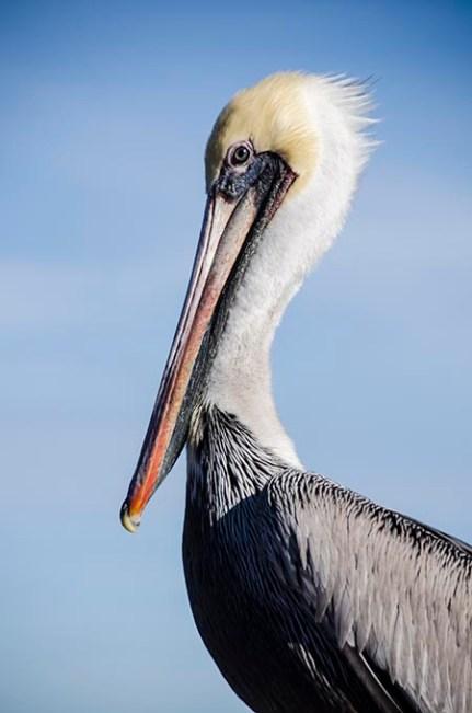 Pelican à Monterey copy