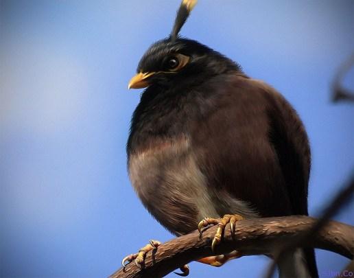 Natural And Real Black Angry Bird - Bomber