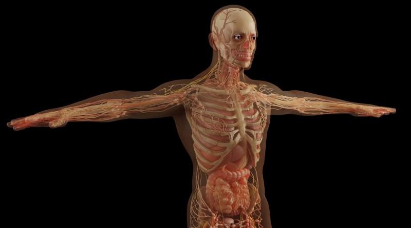 Anatomy Skull Skeleton Muscles  - Monoar_CGI_Artist / Pixabay