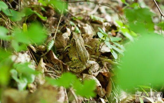 Dolina Mnikowska żabka