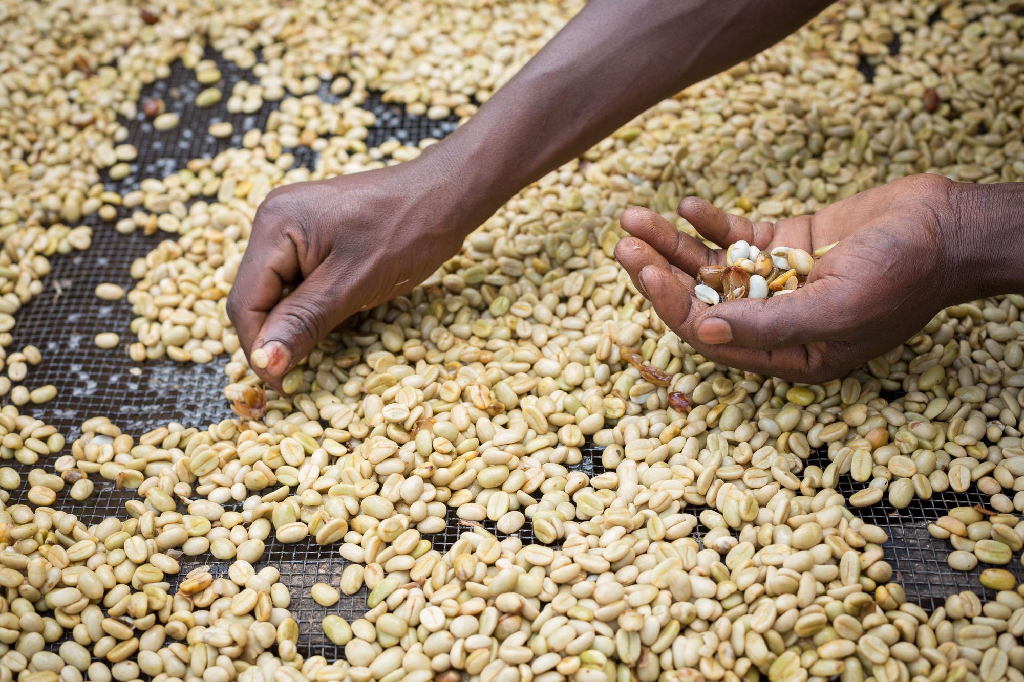 A farmer quality-sorts fresh coffee beans in Kasese District, Uganda.