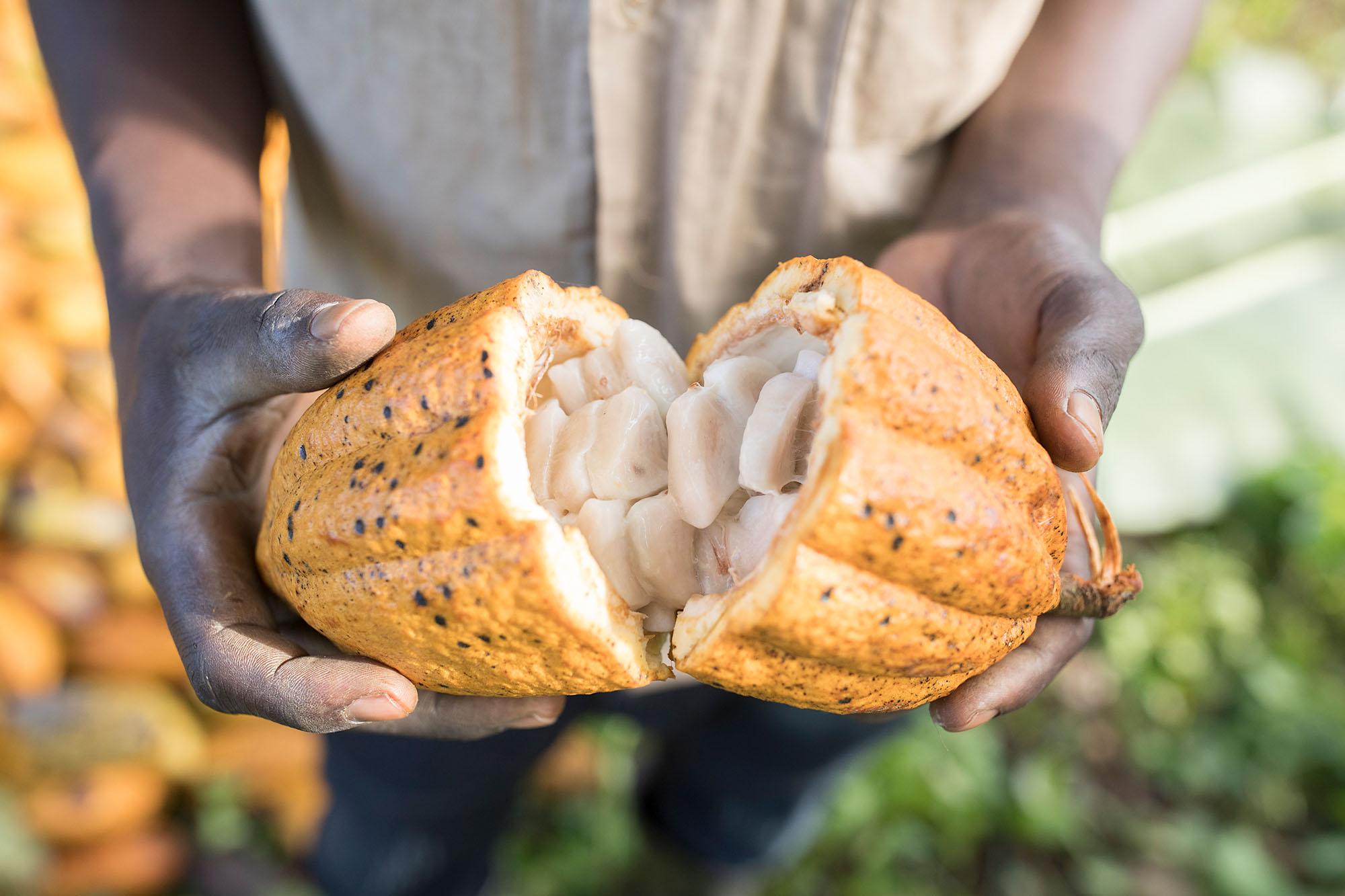 Cocoa harvest in Mukono District, Uganda.