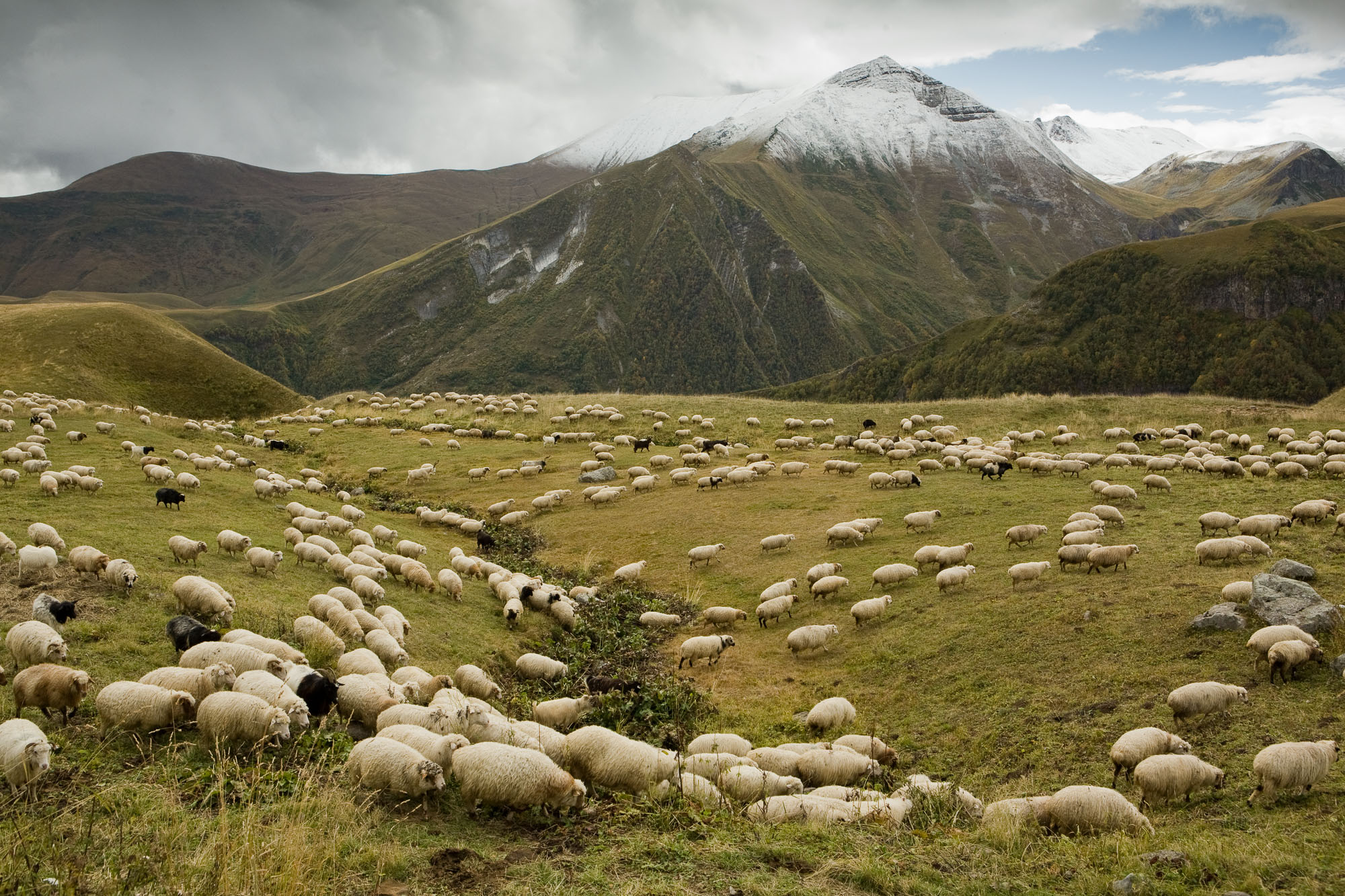 A herd of sheep graze near the snowcapped Caucausus Mountains of Georgia.