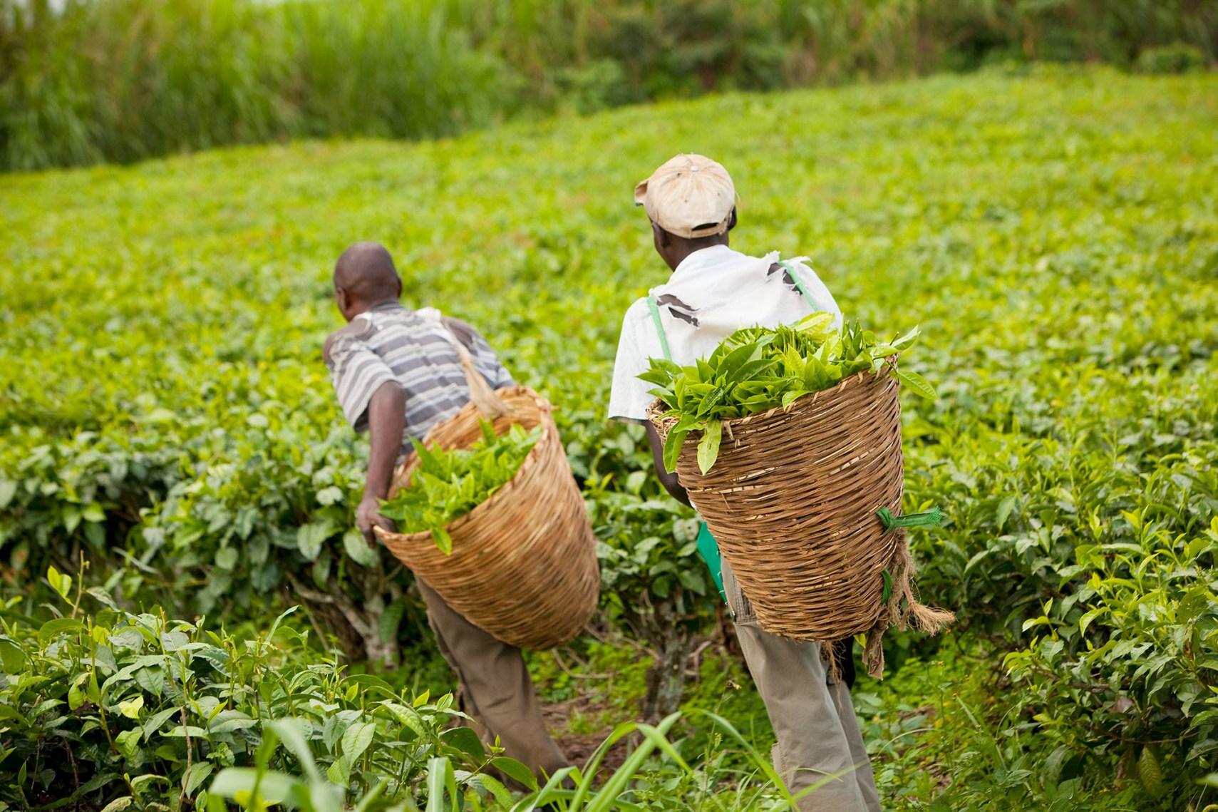 Workers pick tea in the fields near Fort Portal, Uganda.