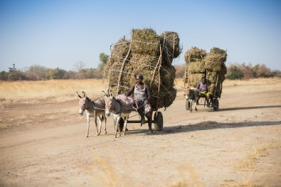 Donkeys drive a bean harvest down a dirt road in Mouhoun Province, Burkina Faso.