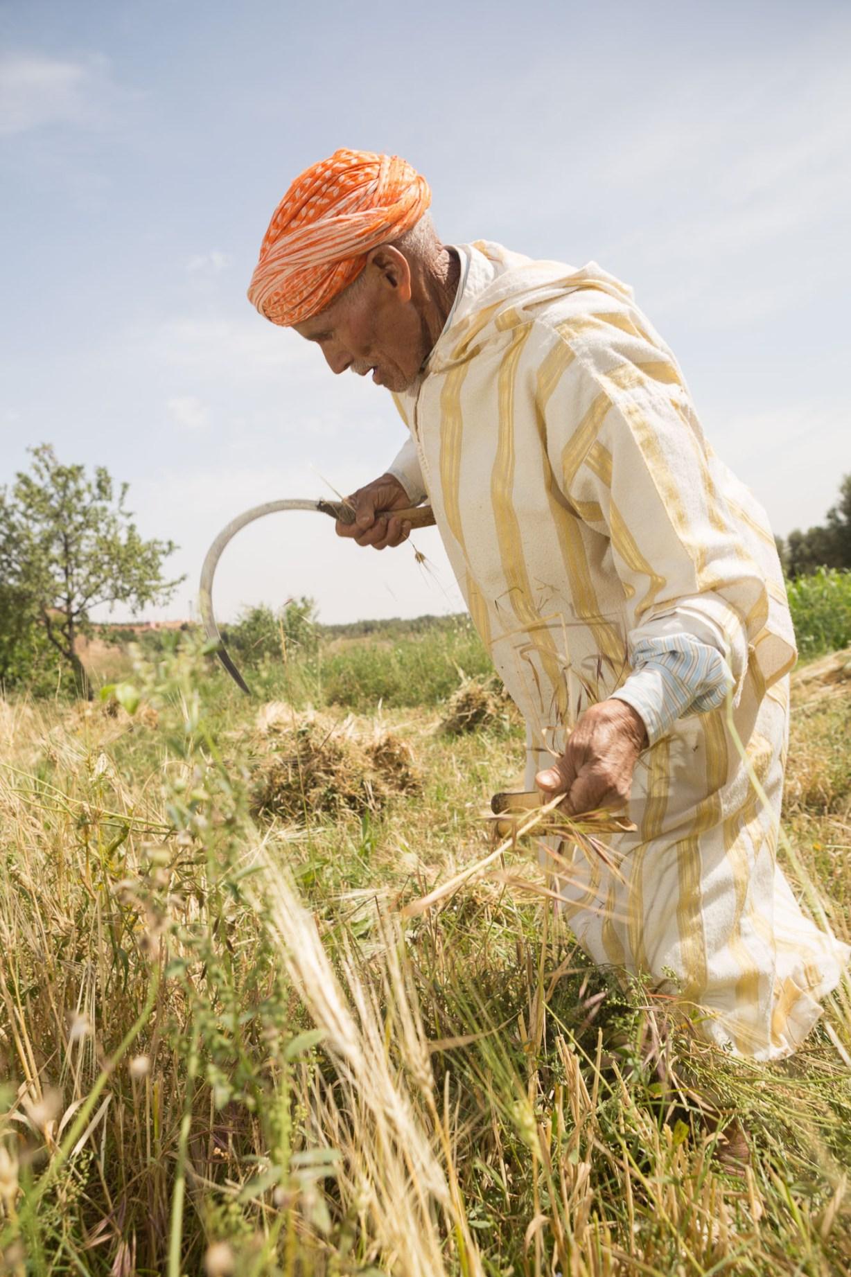Small farmer Brik Ait Ali Ou Massoud harvests wheat in Morocco.