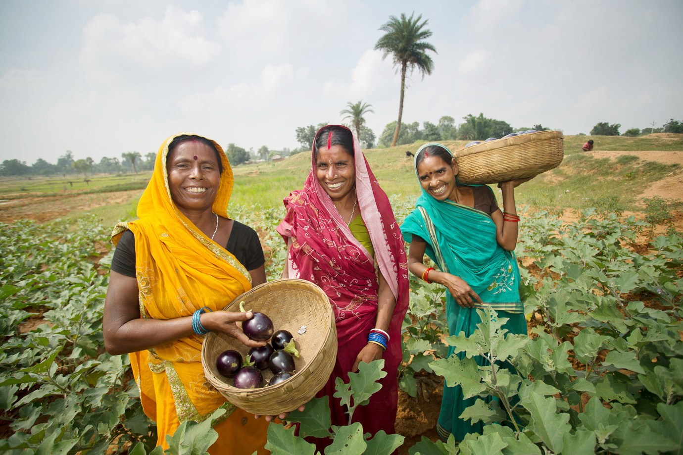 Women harvest eggplant together in Bihar, India.
