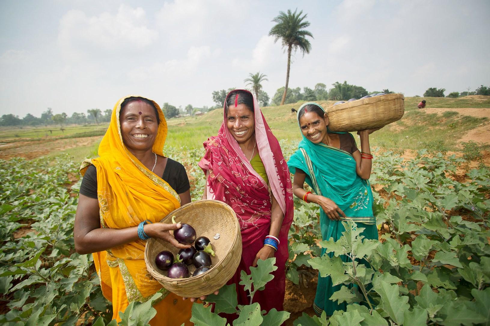Women harvest eggplant together in Bihar, India.