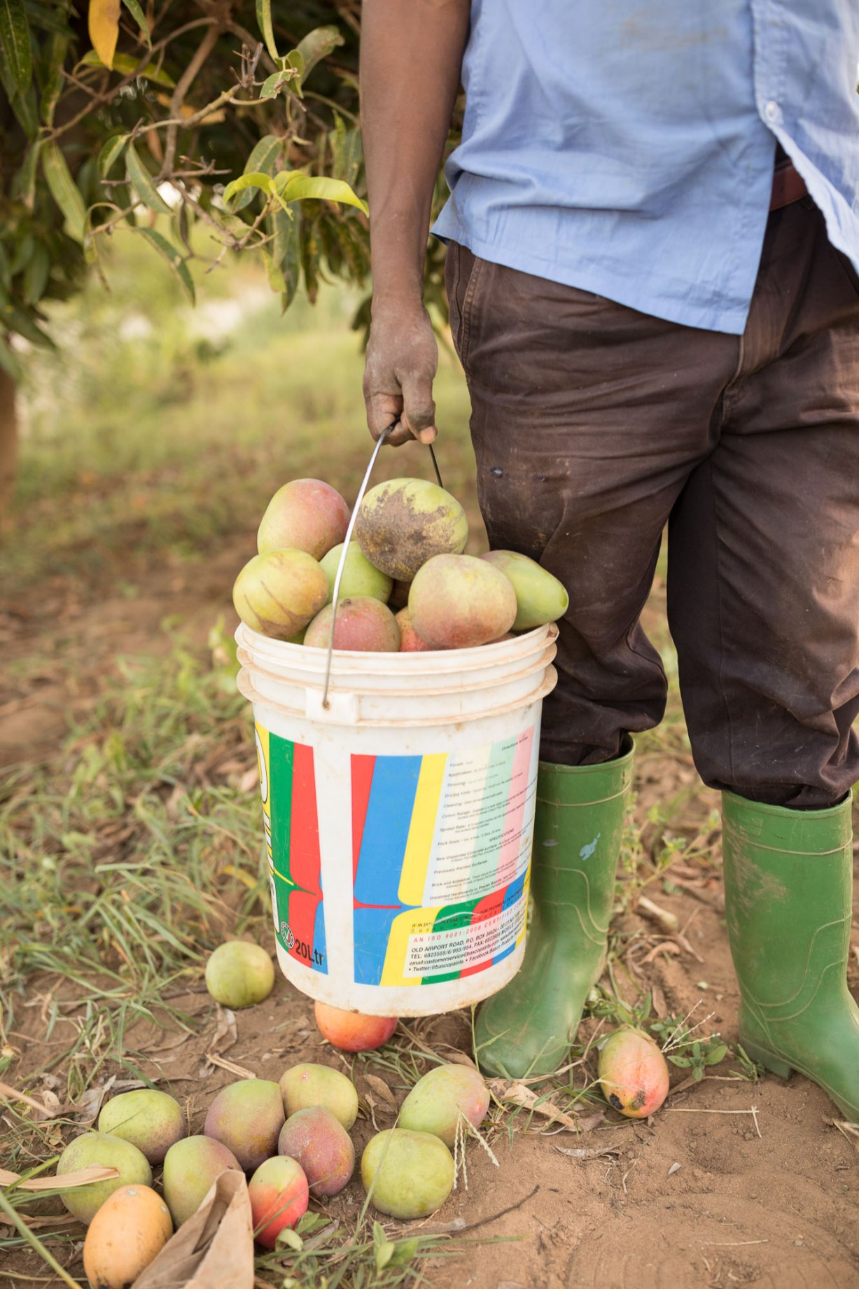 A farmer carries a bucket of freshly-harvested mangos in from the field on his farm in Makueni County, Kenya.