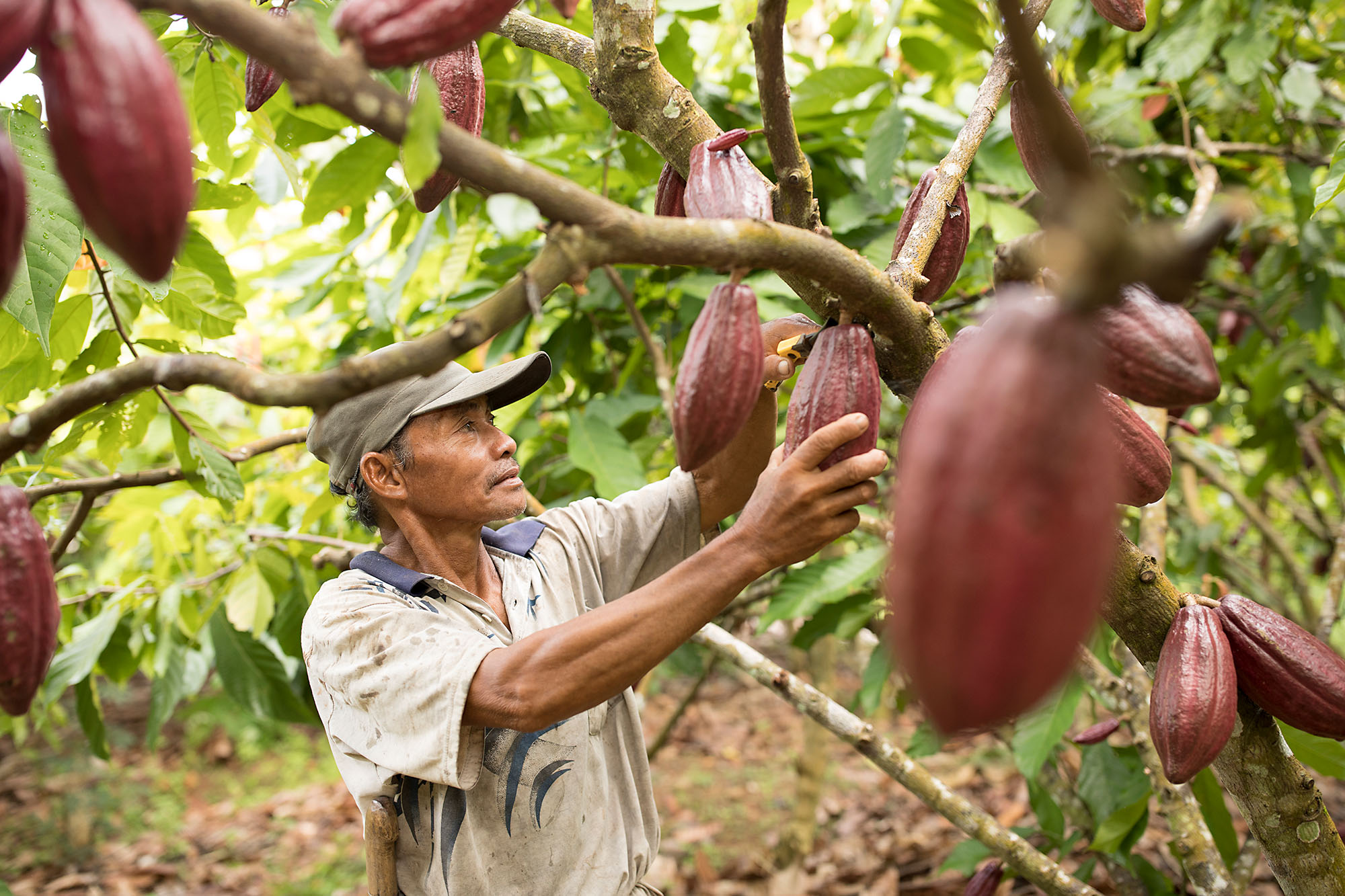 Siding (56) harvests cocoa on a farm in Mamuju Regency, Indonesia.