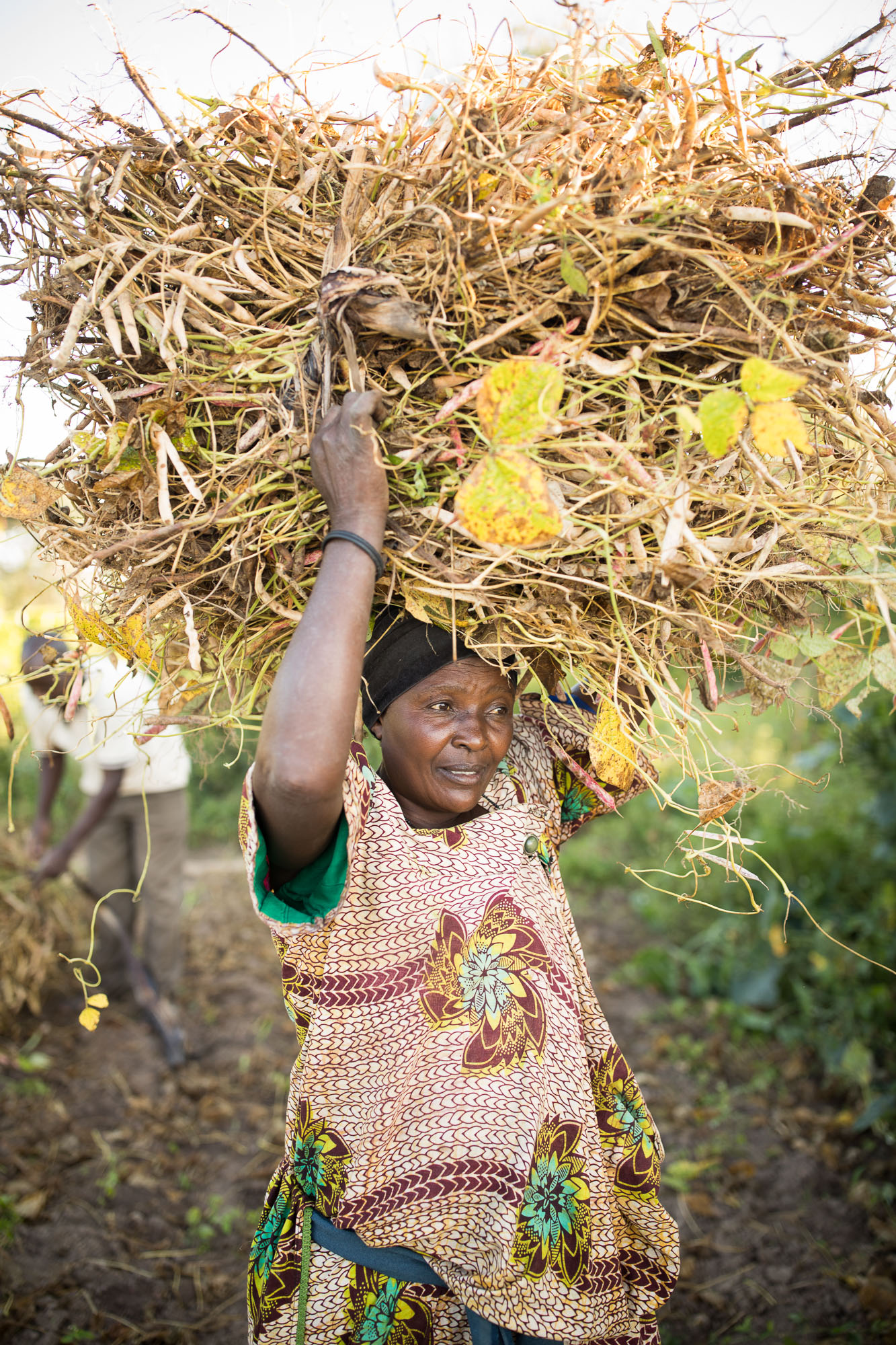 A small farmer harvests fresh beans in abundance in central Uganda.