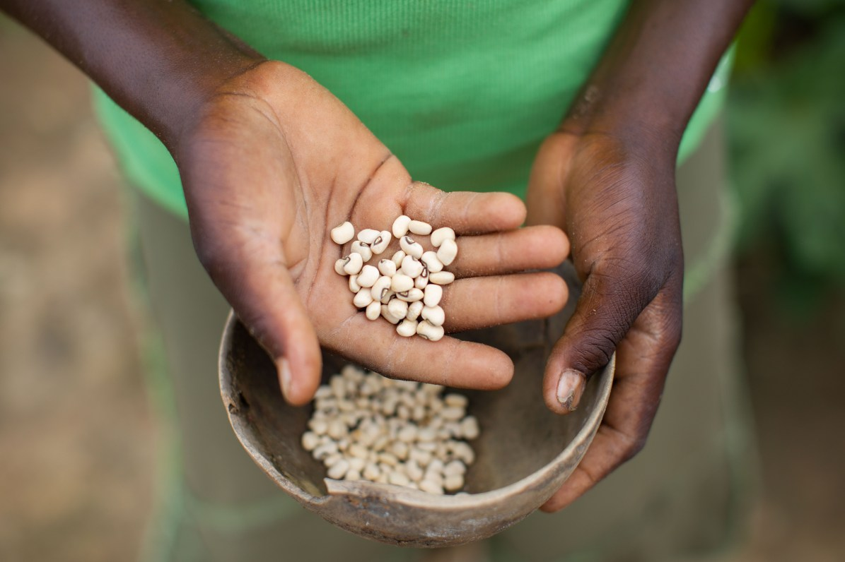 Cow pea seeds are ready for planting in Burkina Faso.