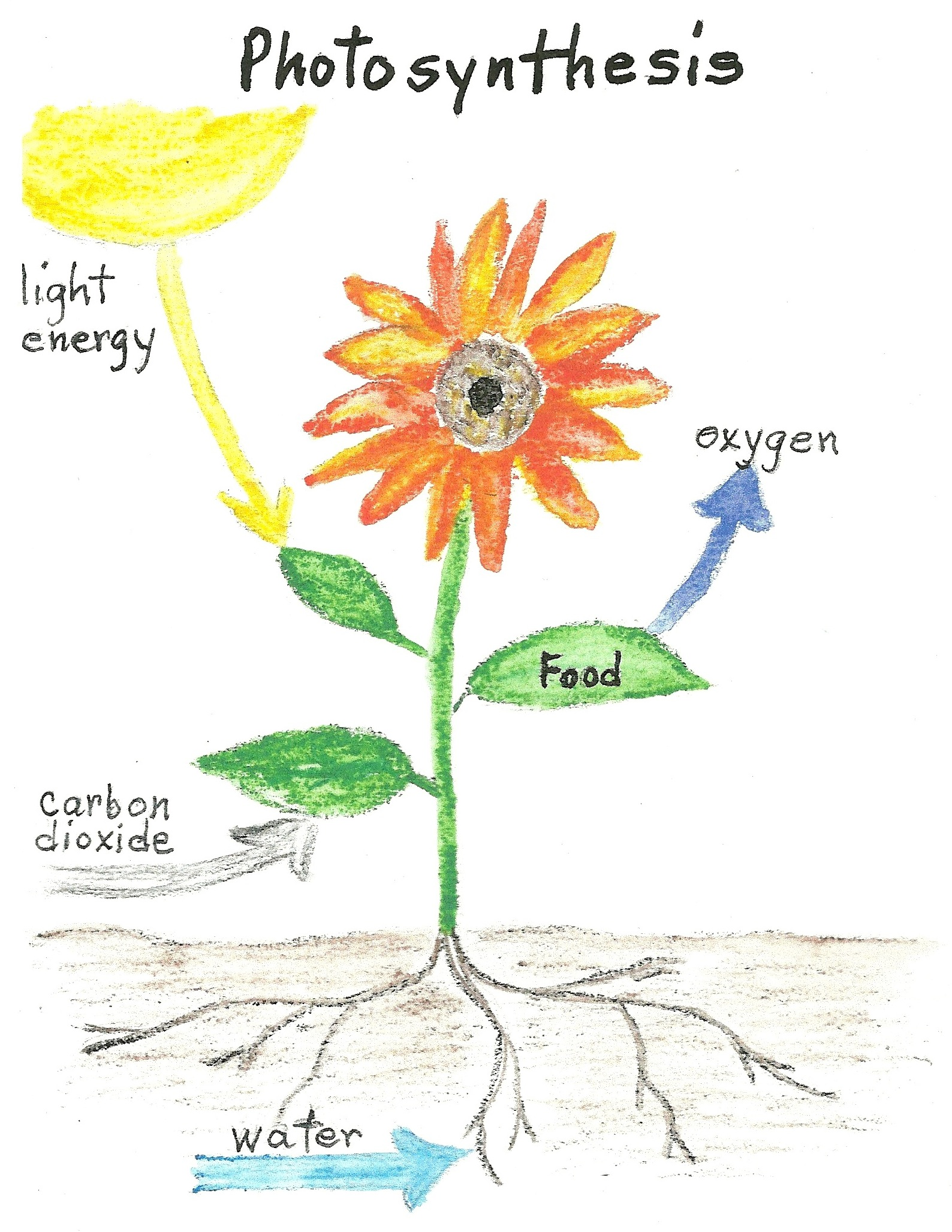 Plant food photosynthesis jakes nature blog this diagram gives a quick overview of how photosynthesis works leaves contain something called chlorophyll which absorbs light energy from the sun ccuart Gallery