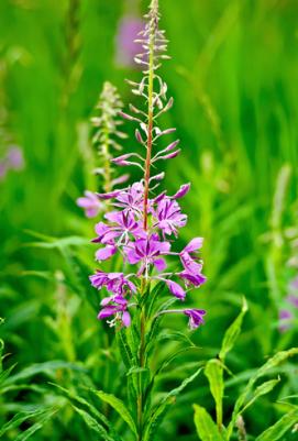 flowers fireweed vertical